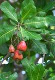 De boom van de cashewnoot Royalty-vrije Stock Foto's