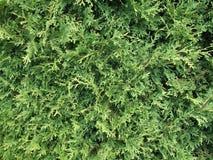 De boom van de ceder Stock Afbeelding