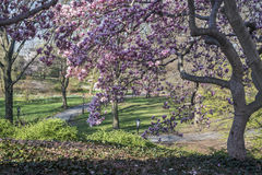 De boom van de Central Parkmagnolia stock foto's