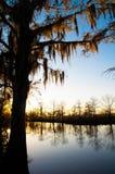 De boom van de cipres bij zonsondergang Stock Foto's