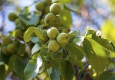 De boom van de Circassianokkernoot in zonnig licht royalty-vrije stock foto's