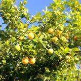 De boom van de citroen. Royalty-vrije Stock Afbeelding