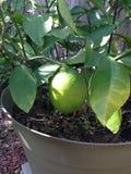De boom van de citroen Stock Foto