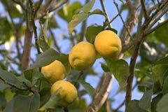 De boom van de citroen Stock Afbeeldingen