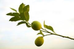 De boom van de citroen royalty-vrije stock foto
