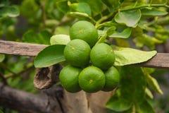 De boom van de citroen Stock Afbeelding