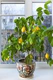 De boom van de citroen Stock Fotografie