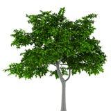 De boom van de citroen die op wit wordt geïsoleerde Stock Afbeeldingen