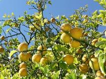 De boom van de citroen met vruchten op takken Royalty-vrije Stock Afbeeldingen
