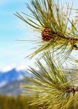 De Boom van de close-uppijnboom met Bergachtergrond Stock Afbeeldingen