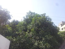 De boom van de Dasheramango van India Stock Foto's
