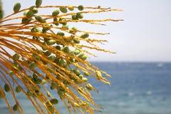 De boom van de datum, rode overzeese toevlucht Royalty-vrije Stock Fotografie