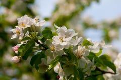 De boom van de de appelbloesem van de lente Stock Foto