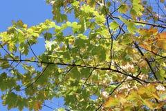 De boom van de de herfstesdoorn tegen de duidelijke hemel Stock Foto's