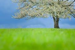 De boom van de de lentekers in bloesem op groene weide onder blauwe hemel Behang in zachte, neutrale kleuren met ruimte voor uw m Stock Foto's