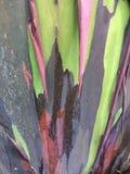 De Boom van de de Regenboogeucalyptus van eucalyptusdeglupta het Groeien op het Eiland van Kauai in Hawaï royalty-vrije stock afbeeldingen