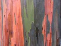 De Boom van de de Regenboogeucalyptus van eucalyptusdeglupta het Groeien op het Eiland van Kauai in Hawaï stock afbeeldingen