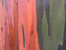 De Boom van de de Regenboogeucalyptus van eucalyptusdeglupta het Groeien op het Eiland van Kauai in Hawaï royalty-vrije stock afbeelding