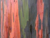 De Boom van de de Regenboogeucalyptus van eucalyptusdeglupta het Groeien op het Eiland van Kauai in Hawaï royalty-vrije stock fotografie