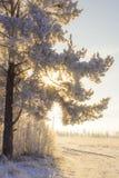 De boom van de de winterpijnboom Stock Fotografie