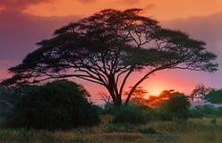 De boom van de doorn bij dageraad Royalty-vrije Stock Fotografie