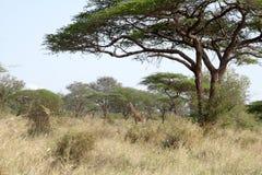 De boom van de doorn op een Afrikaanse vlakte Stock Afbeeldingen
