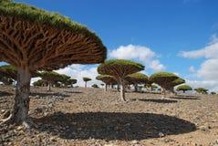 De boom van de draak Stock Foto's