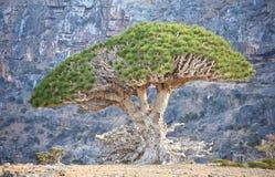 De boom van de draak stock afbeelding