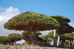 De boom van de draak op Socotra stock afbeelding