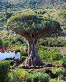 De Boom van de draak in Tenerife, Canarische Eilanden stock foto's