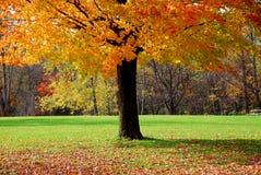 De boom van de esdoorn Stock Afbeelding