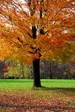 De boom van de esdoorn stock fotografie