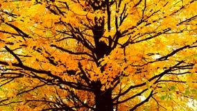 De boom van de esdoorn royalty-vrije stock foto's