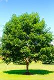 De boom van de esdoorn stock afbeeldingen