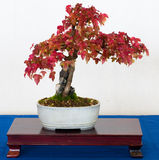 De boom van de esdoorn als bonsai Stock Foto