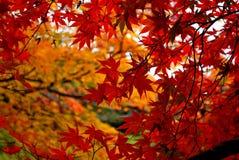 De boom van de esdoorn in de herfst Royalty-vrije Stock Afbeeldingen