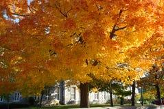 De boom van de esdoorn in de herfst Stock Foto