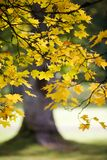 De boom van de esdoorn in de herfst Stock Afbeelding