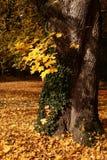 De boom van de esdoorn die door klimop wordt ineengestrengeld Royalty-vrije Stock Foto