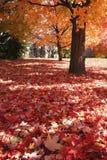 De boom van de esdoorn en esdoornbladeren royalty-vrije stock foto