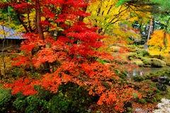 De boom van de esdoorn in Japanse tuin Stock Afbeelding