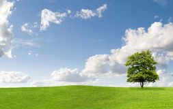 De boom van de esdoorn op een weide Stock Afbeelding