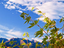 De boom van de esdoorn op een zonnige dag op de bergen Stock Fotografie
