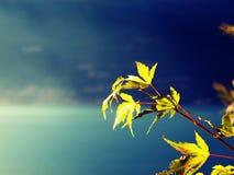 De boom van de esdoorn op een zonnige dag op het meer Stock Foto