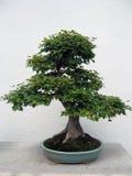 De boom van de Esdoorn van de bonsai Stock Afbeelding