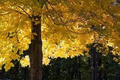 De Boom van de Esdoorn van de herfst Stock Foto