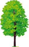 De boom van de esdoorn. Vector Royalty-vrije Stock Fotografie