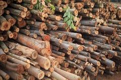 De boom van de eucalyptus in bosbouwaanplantingen Stock Foto