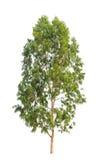 De boom van de eucalyptus royalty-vrije stock foto