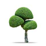 De boom van de Fukienthee [Carmona retusa (Vahl) Masam ] geïsoleerd op wit Stock Foto's
